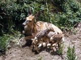 New born mule deer fawns & mother