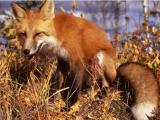 Red Fox sitting in grass