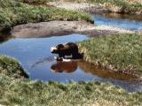 Grizzly bear in creek