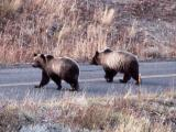 Two grizzly bears in the Antelope Creek drainage
