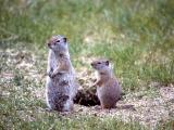 Uinta ground squirrel with young