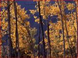 Close up of an aspen grove with fall color