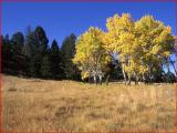 Aspen trees with fall color at Little America Flats