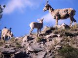 Bighorn Sheep ewe & two lambs on a ridge