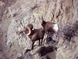 Bighorn Sheep ram & ewe on rock