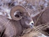 Bighorn Sheep ram in Lamar Valley