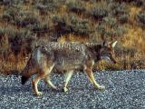 Roadside coyote